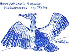 Уссурийский баклан
