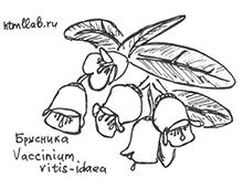 Цветущая брусника