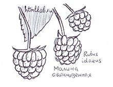Ягоды: малина