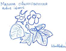 Цветущая малина
